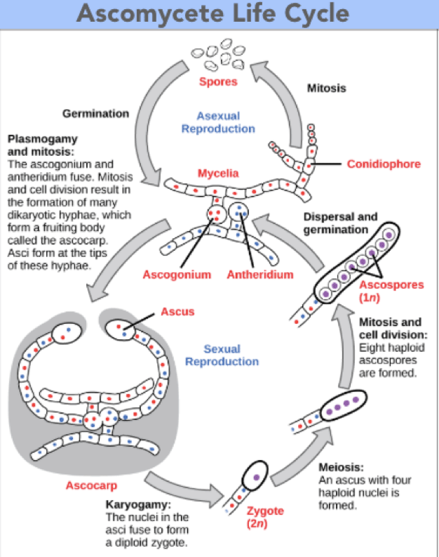 ascomycete life cycle