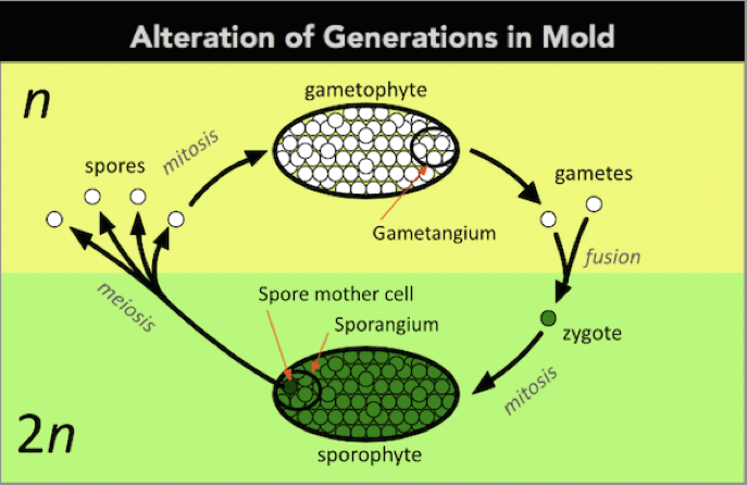 alteration of generations in mold